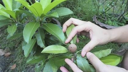 Exotic Fruit in Mom's Garden